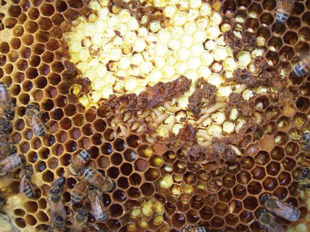 Small hive beetle slime is secondary to a Varroa infestation.