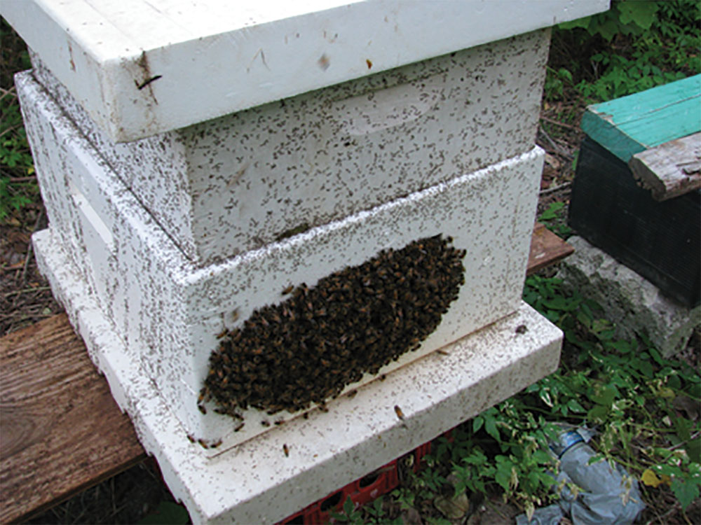 Many bees are being forced out of the hive by a formic acid mite treatment allowing ants to move into the hive resulting in the colony absconding. (Tommy Sinclair photo)