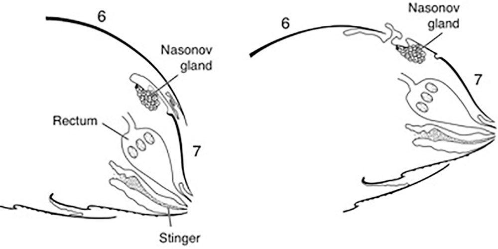 Figure 1. Sections through the abdomen of a worker bee showing, left, the scent organ close in the rest position and right, the scent organ exposed by raising the abdomen and tipping the last abdominal segment downward.