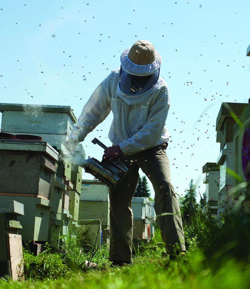 Well protected beekeeper working applying smoke in an apiary. Repasky photo.