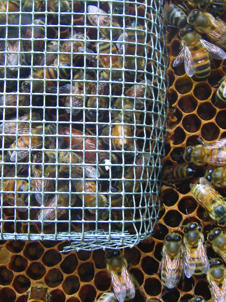 A queen and numerous attendants contained under a push-in cage installed on a frame of comb.