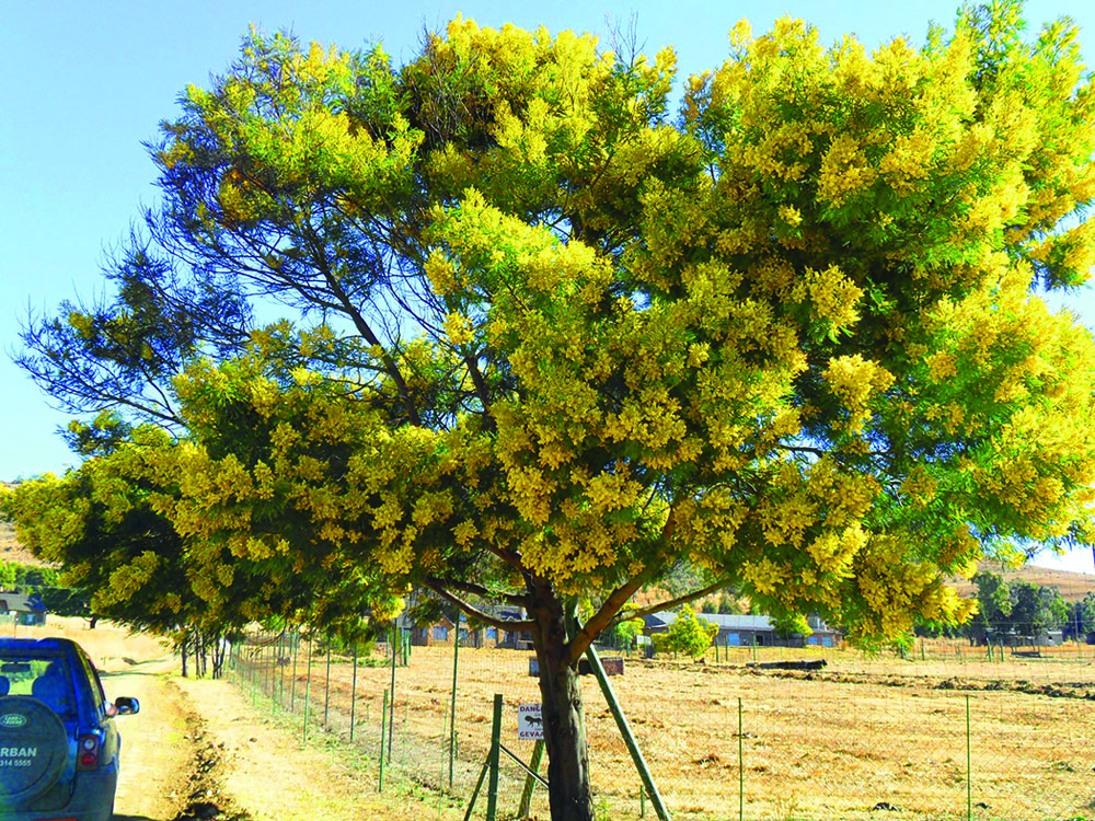 Some outstanding leguminous bee trees bee culture black wattle acacia decurrens mightylinksfo