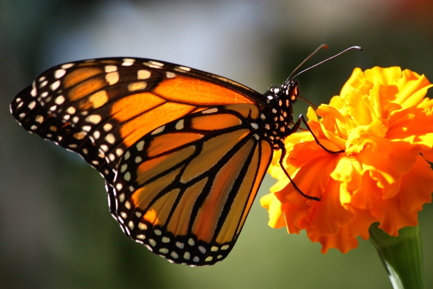 CATCH THE BUZZ – Monarch Migration Gets a Boost from Ohio Collaboration