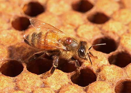 CATCH THE BUZZ – The Basics Of Honey Bee Health