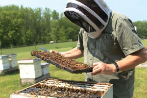 Figure 1. Spring time hive inspection in Canada after treatment with MAQS in the previous Autumn.