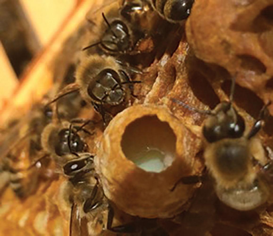 splits   varroa more colonies  fewer mites  new queens bee vectoring work bee vectoring work