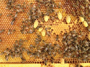 Emergency cells are removed in splits where a new queen is introduced, but allowed to emerge during a walk away split.