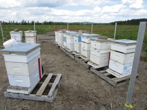Warm weather means the bees are flying over Northern Ontario wild blueberry farm.