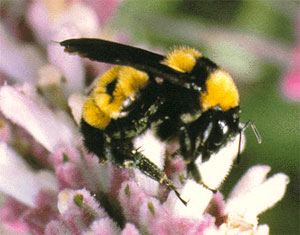 CATCH THE BUZZ – Bumblebees Caught In Climate Change Vice
