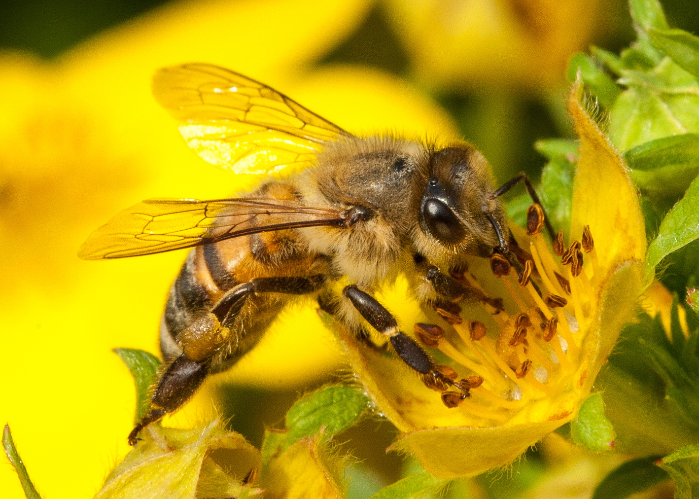 CATCH THE BUZZ – Vaccine Technology For Bee Diseases Discovered