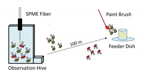 Figure 2. Experiment to determine the source of dance-floor compounds. After being trained to the feeder dish, bees arriving at the dish were marked with paint so that they could be identified when they returned to the hive. SPME samples of marked bees showed high compound levels only from waggle-dancing bees.