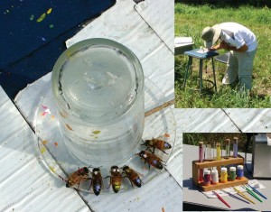 Figure 5. Bees marked for individual identification drinking from a feeder dish. Identification of individuals was critical for experiments to understand the behavioral mechanisms by which the dance compounds stimulate colony foraging. Insets: William Paterson University undergraduate Corey Stein marks bees at a feeder; our state-of-the-art bee-marking technology.