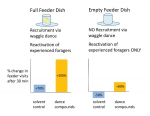 Figure 6. Rationale and results for experiment to test whether the waggel-dance compounds reactivate experienced foragers to visit known food sources. Previous experiments described here had used feeder dishes filled with sugar-water (left panel), thus the observed increases in foraging were a product of both recruitment via waggle-dancing and reactivation of experienced foragers. Emptying the feeder dish eliminated recruitment to the source, yet dance-compound exposure still increased the arrival of experienced foragers at the feeder dish (right panel).