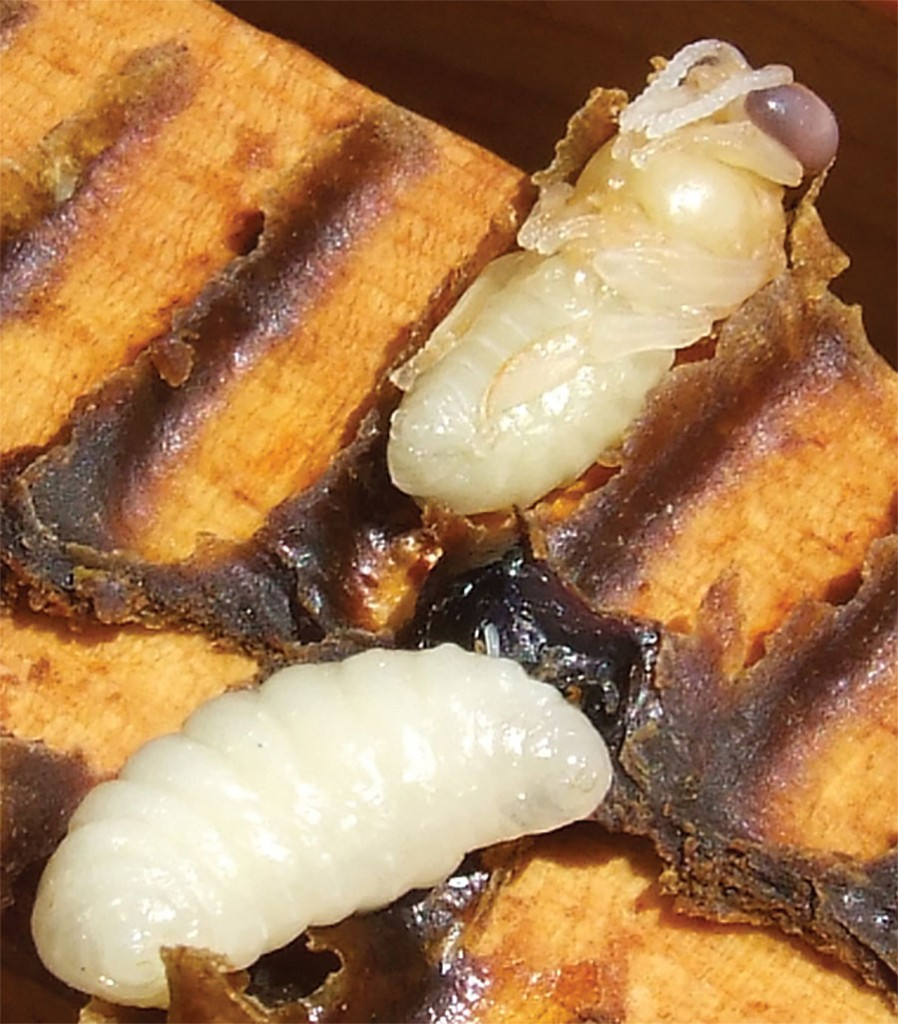 Bees pass through a four stage metamorphosis: egg, larva, pupae and adult. These two are the larva and pupae (with eyes darkening, the purple eye stage).