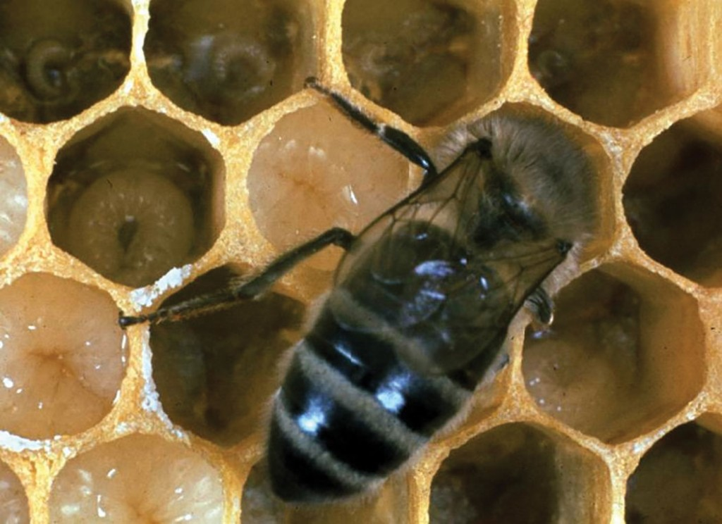 The developing brood is being fed by a nurse bee, a member of house bees that has not yet started to fly. R. Williamson photo.