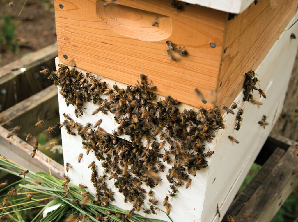 The bees were in a true robbing frenzy. Compare to photo above.
