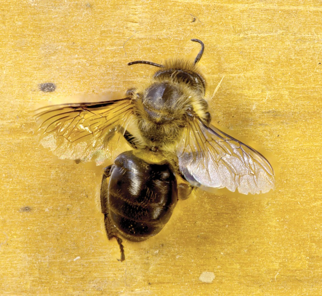 A robber honey bee denuded of hair and sporting tattered wings. Robbing is dangerous and difficult work for a honey bee.