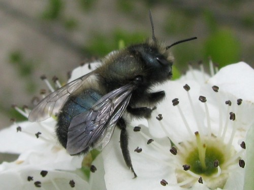 CATCH THE BUZZ – International Orchard Bee Association Meeting Expo In October