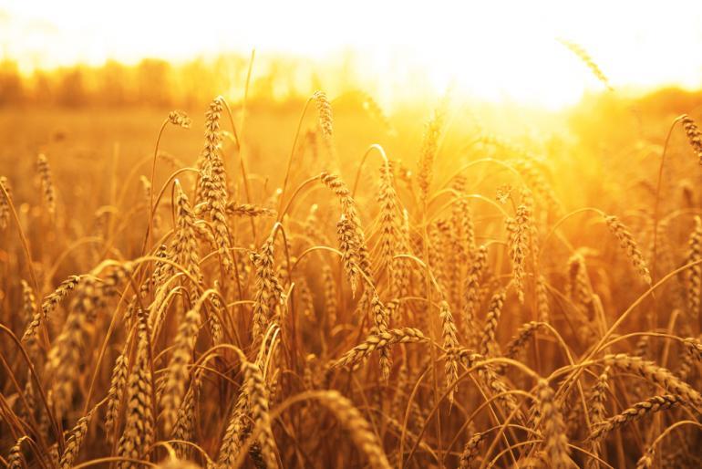 Wheat BUZZ