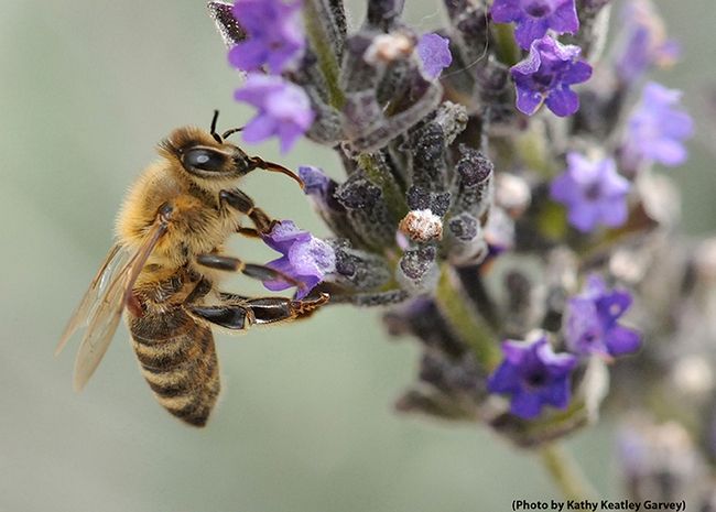 CATCH THE BUZZ – Forager Bees 'Turn On' Gene Expression to Protect Themselves from Microrganisms, Toxins