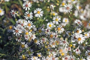 White aster, a smorgasbord for insect foragers.