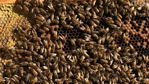 CATCH THE BUZZ – Moncton Researchers Abuzz Over Possible Arthritis Treatment Using Propolis