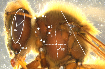 CATCH THE BUZZ – MorphoMetric Software Can Help Measure Insect Specimens
