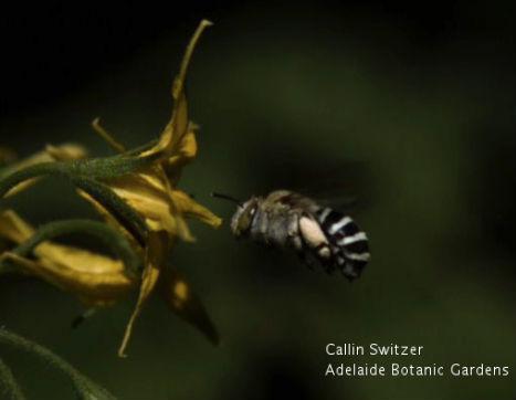 Aussie Bee - BUZZ