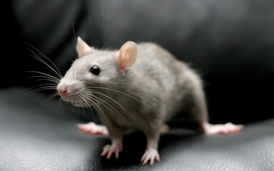 Mouse - BUZZ
