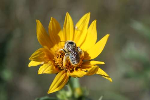 Native Bees - BUZZ