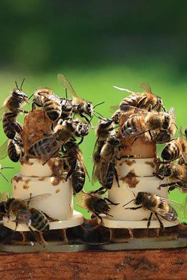 Queen larvae need a diet of Royal Jelly for the entire duration of their cell life.