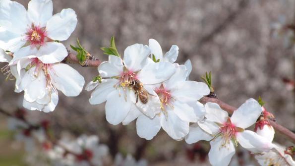 Almond Pollination - BUZZ