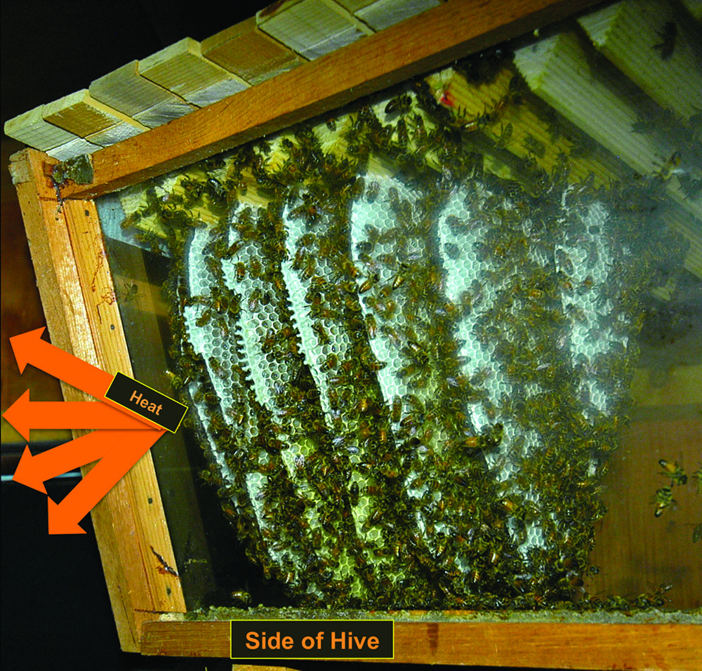 "Figure 2 Understanding the comb orientation. From the side of the top-bar hives, you would see the edges of the combs, analogous to looking at a loaf of bread from the side. Like the larger hives in the apiaries, this top-bar observation hive has its combs perpendicular to the glass side of the hive. The heat radiates from the side coming between the combs as shown by the arrows. By ""seeing"" the heat from the side of the hive, we obtain a view of the colony, so far, mostly from the brood nest, but extending into the honeycombs too."