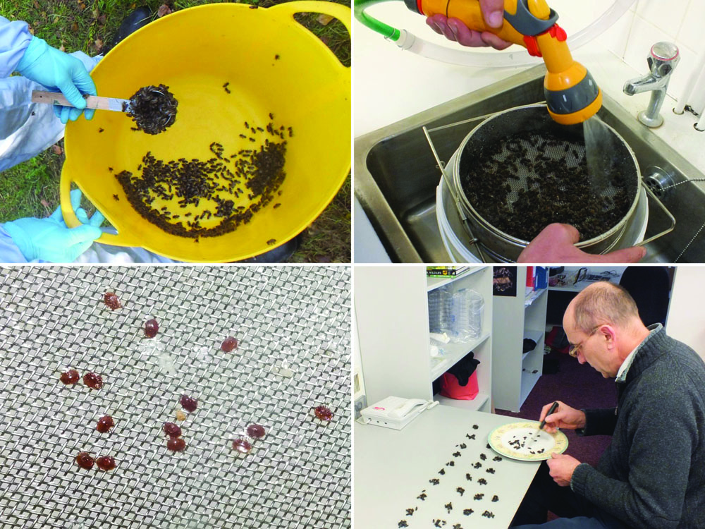 How LASI Counts Phoretic Varroa On Worker Bees. Top left – Worker bees are shaken into a gardening tub, and a sample is taken with a home-made scoop that will hold 250-300 when full. The bees in the scoop are then put into a zip-loc bag and frozen. Great care is taken not to take the queen. Samples are taken from queenless hives, in December or early January, so that all Varroa are phoretic. We always take bees from the center frames. Top right – Varroa are washed off the bees using a jet of water a double-mesh honey strainer. Lower left – Varroa pass through the first mesh but are trapped by the second, finer, mesh, where they are counted. Bottom right – After Varroa extraction, the bees in the sample are counted to determine the number.