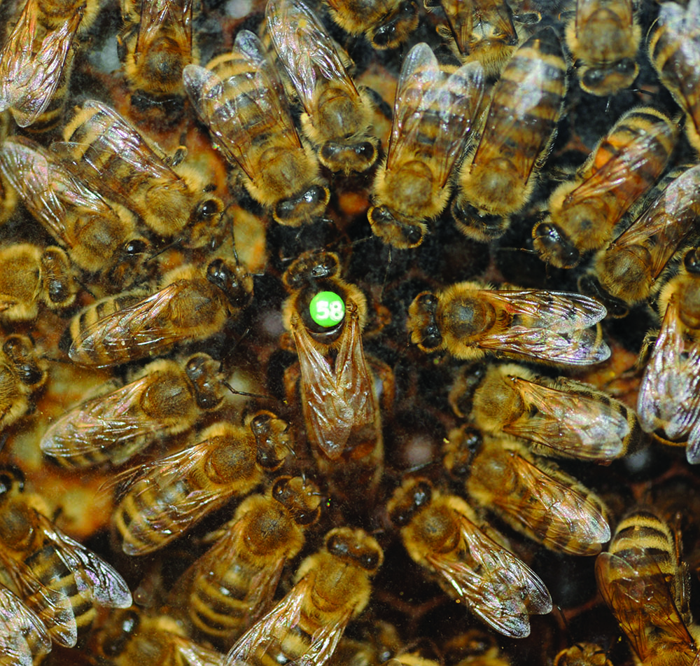 A three year old inseminated queen and her court. Queen longevity is largely dependent upon the amount of semen stored by the queen and the care given in rearing and establishing IIQs.