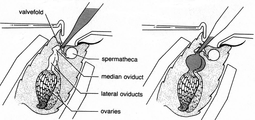 Diagram of the queen's abdomen, showing the valvefold which must be bypassed to deliver semen into the median oviduct for proper insemination. Credit J. Harbo USDA