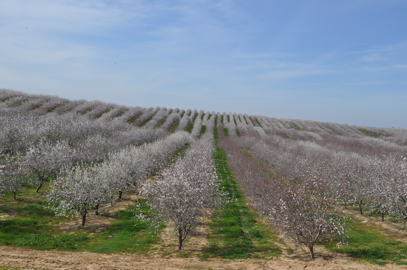 Almond prices are down amid El Nino-related cold, rain - BUZZ #2