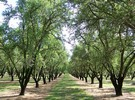 Flooding Almond Orchards May Help Water Shortage - BUZZ