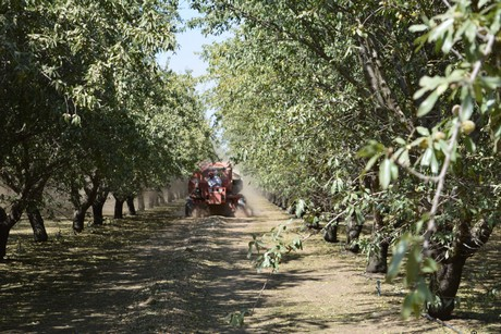 CATCH THE BUZZ -Welcome Rains May Be a Challenge to Almond Blossoms