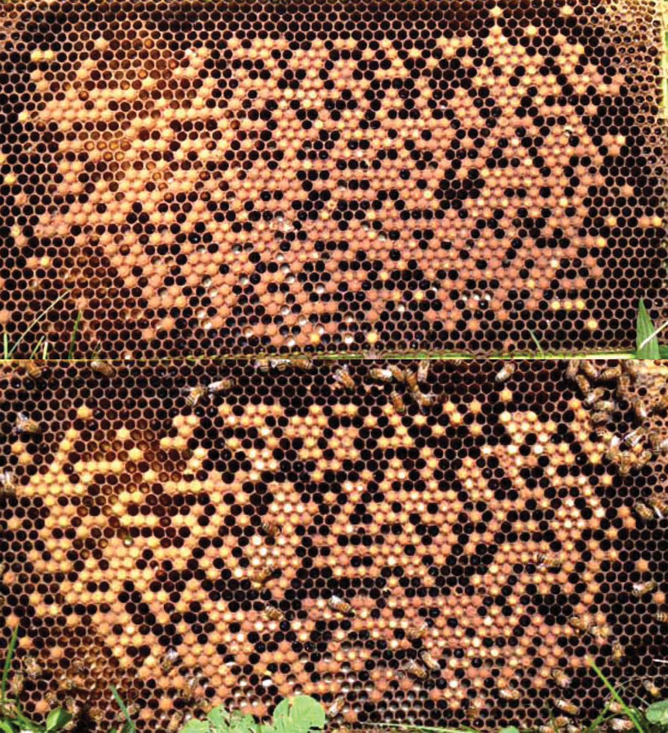 Figure 2. Evidence of Varroa-sensitive hygine (VSH). A drone comb infested with Varroa mites was inserted into one of our recent breeder colonies for 48 hours. This figure shows the before (top) and after (bottom).