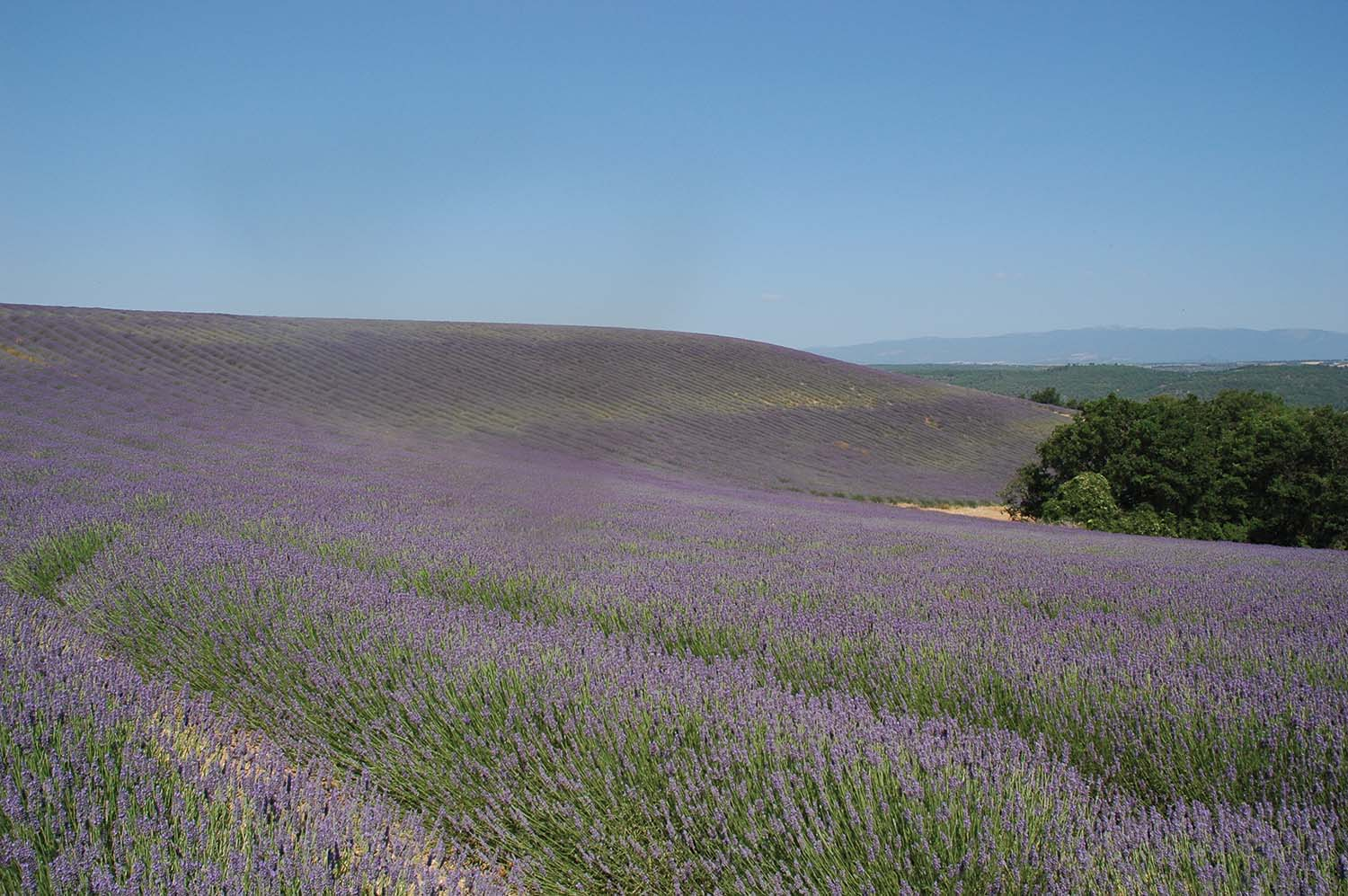 Lavender fields surrounding the National Bee Lab at Avignon, France. (Photo by Marion Ellis)