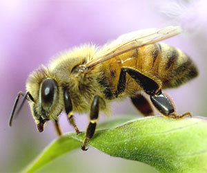 CATCH THE BUZZ – Little Risk to Bees from Widely Used Insecticide, Reports Expert from The University of Arkansas.