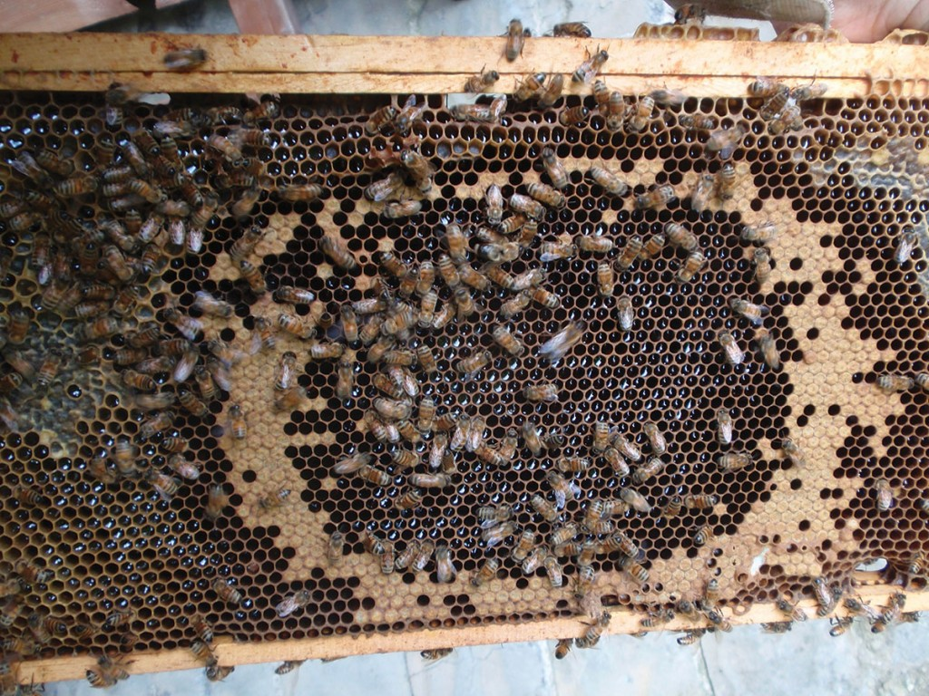 Only capped brood. No eggs or open brood. Empty cells in center filled with nectar.