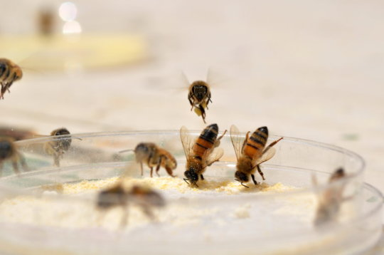 CATCH THE BUZZ – Bees Diversify Diet to Take the Sting Out of Nutritional Deficiencies