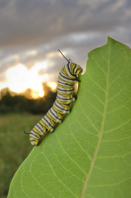 CATCH THE BUZZ – Beyond Milkweed: Monarchs Face Habitat, Nectar Threats