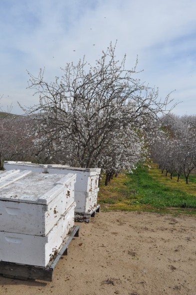CATCH THE BUZZ – California Land Values Tied to Almond Prices, Just Like Pollination Prices