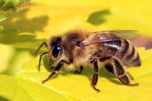 Parasitic Mites That Transmit A Honey Bee-Infecting Virus May Benefit From Spreading The Pathogen, A Study Shows - BUZZ