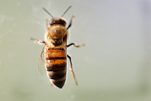 CATCH THE BUZZ – Rising CO2 Levels Reduce Protein in Crucial Pollen Source for Bees