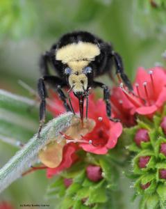 Yellow face bumble bee queen, Bombus vosnesenskii