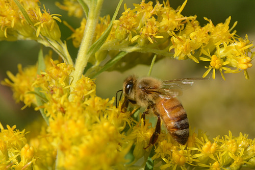 Goldenrod pollen is a key protein source for honey bees in the fall. Photo by David C. Smith, Williams College